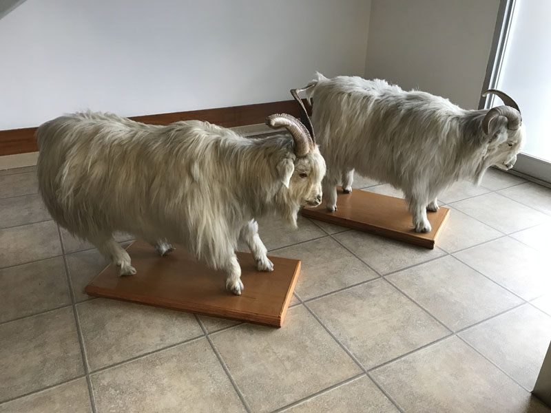 Cashmere Goats at Todd & Duncan