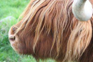 Where to find Highland Cows near Edinburgh